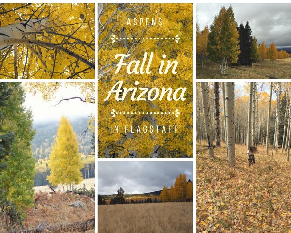 Aspens in Flagstaff. Fall in Arizona.