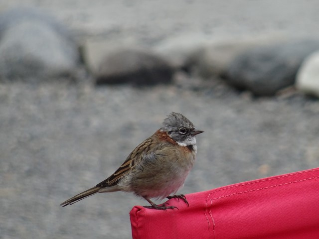 Even the generic birdus smallus seems more interesting up close :) (Think it's a Rufous-collared sparrow, lots of them about)