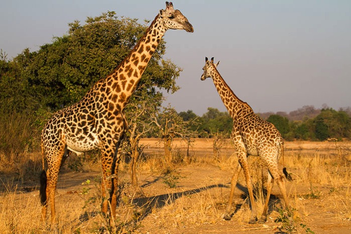 Duo-de-girafe.jpg