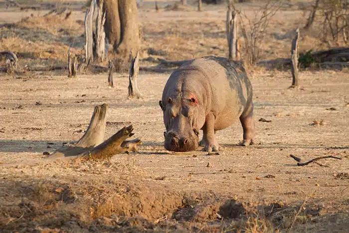 Hippo mechant