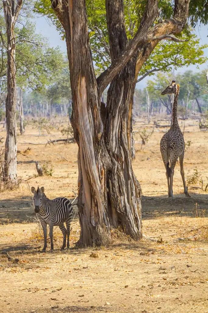 Zebre et girafe