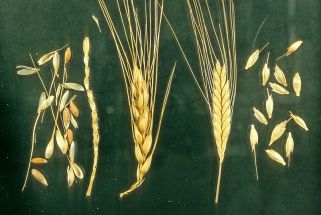 wheat_marknesbitt