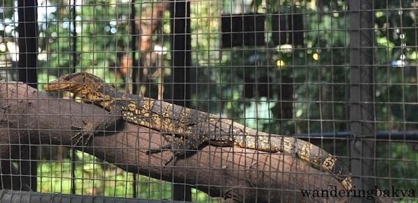 Visayan Monitor Lizard (local name bayawak)