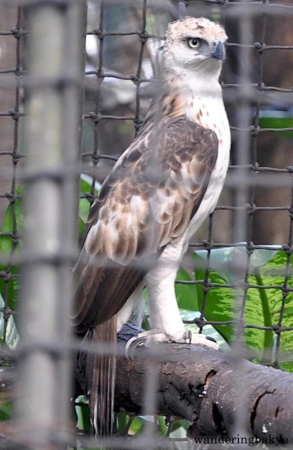 Philippine Hawk Eagle (local name banog)