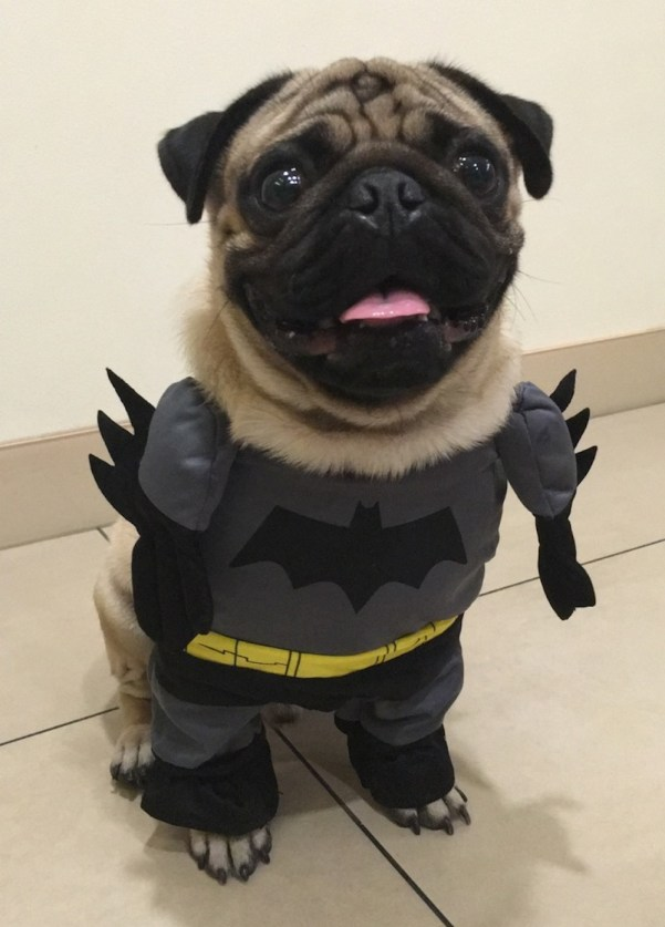 Jamba the Pug as the Cape Crusader, the hero we deserve and need right now.