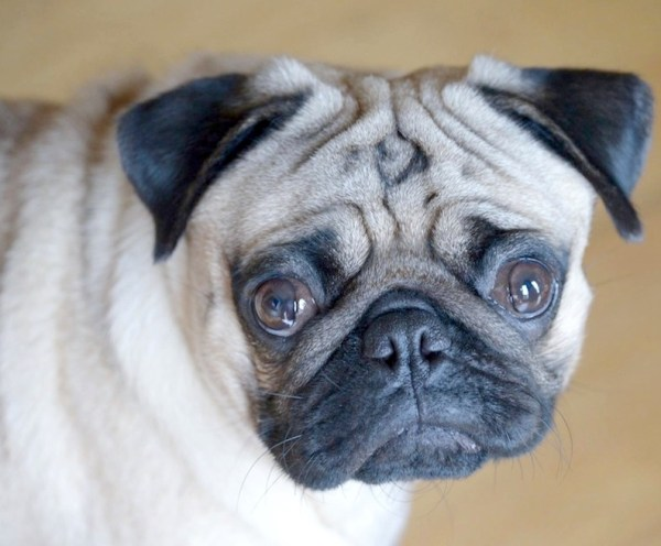 How can anyone say no to Jamba the Pug's adorably pitiful face?