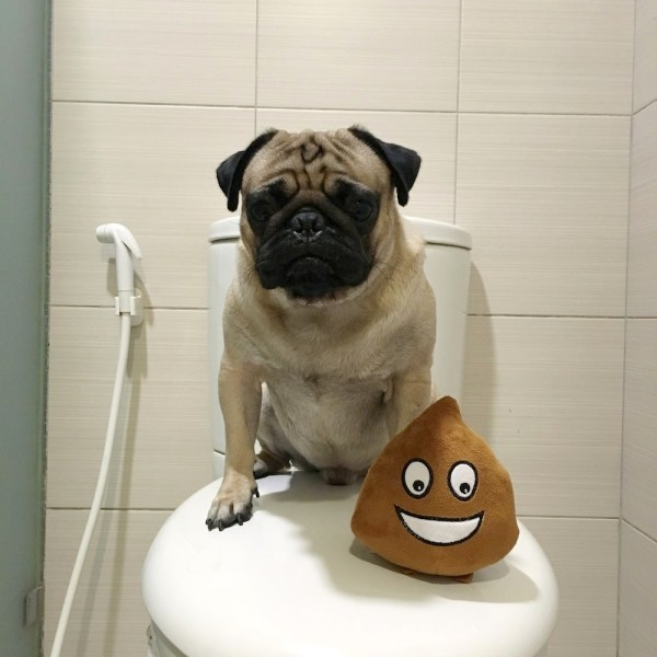Jamba the Pug gives a shit about shitting.