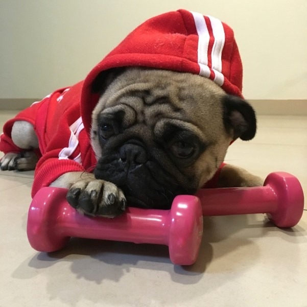 Jamba the Pug working on his biceps.