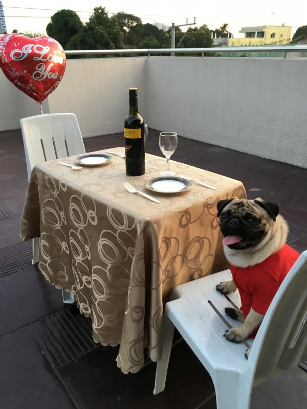 Jamba the Pug on Valentine's Day, in red and ready for some loving.