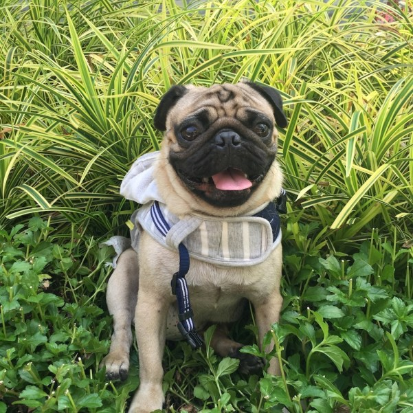 Jamba the Pug steps outdoors to commune with nature.