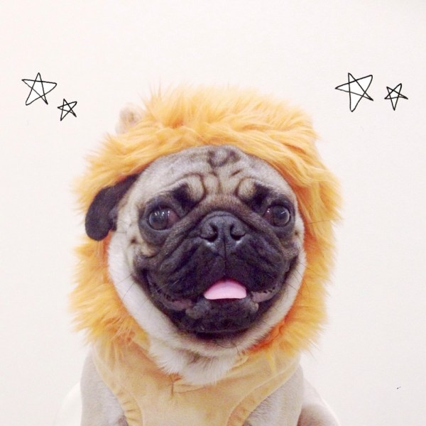 If it ever gets unbearably cold in the Philippines, Jamba the Pug has this lion costume to keep him warm.