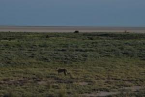 salt pan rhino cheetah