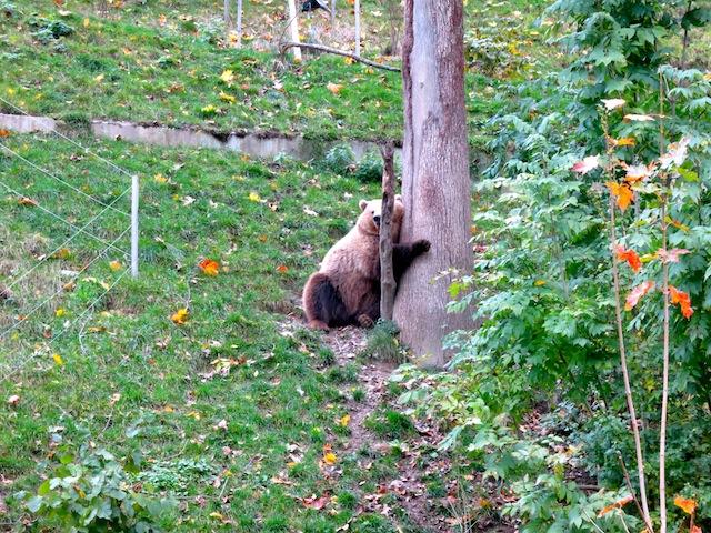 Bjork hugging tree at Bern Bear Park