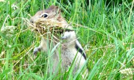 Amazing Rocky Mountaineer wildlife photos chipmunk