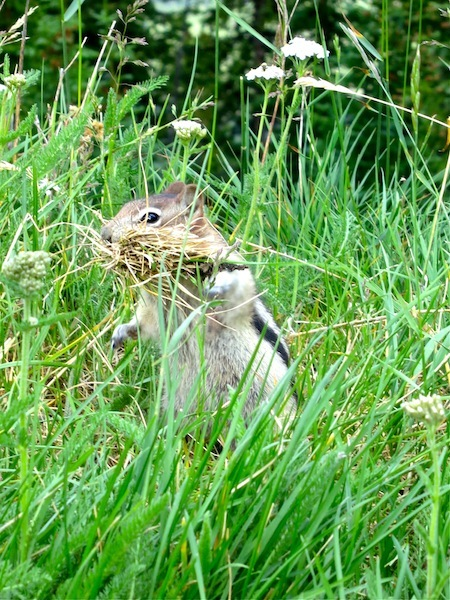 Amazing Rocky Mountaineer wildlife photos chipmunk
