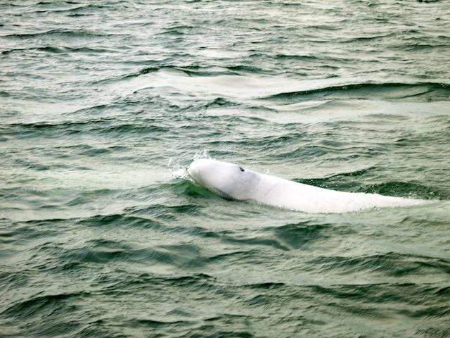 Smiling baby beluga adventure in Churchill Manitoba
