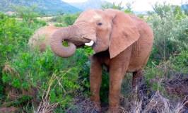 Big 5 safari animals, an Elephant in Pilanesberg National Park