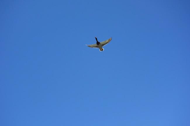 Canadian Snowbird advice, bird in flight