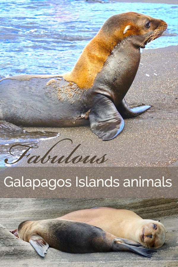 Animals of the Galapagos Islands. A trip to the Galapagos is an amazing wildlife adventure, with sea lions, fur seals, Galapagos tortoises, blue-footed boobies and so much more.