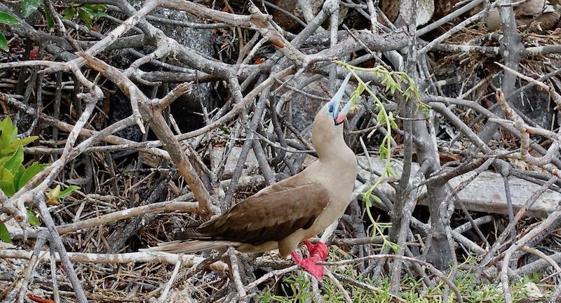 Red-footed booby on Genovesa Island Galapagos cruise