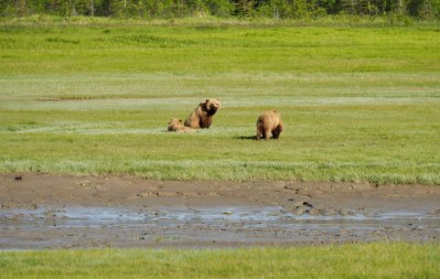 Alaska-brown-bear-viewing-chinitna-bay-Lake-Clark-National-Park-family