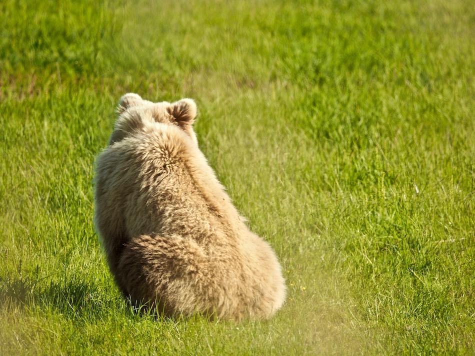 alaska anchorage brown bear viewing Lake Clark