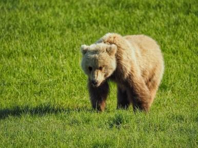 alaska brown bear viewing Chinitna Bay Rust's Flying Service