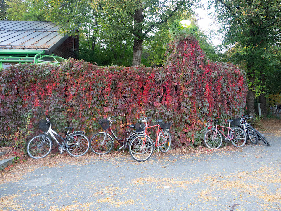 bikes resting along a red ivy wall in Munich