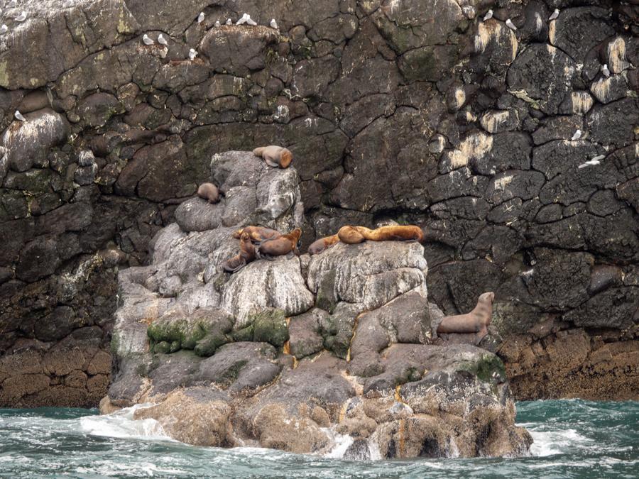 Sealions in Seward on rocks