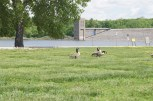 Canada Geese at Coralville Dam