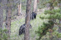 Black bears going up the mountain