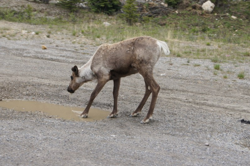 Our first wildlife sighting of the day was a caribou