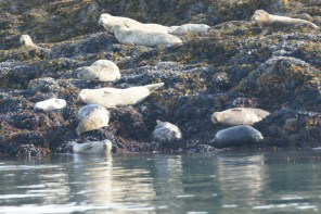 Harbor Seals by the lighthouse