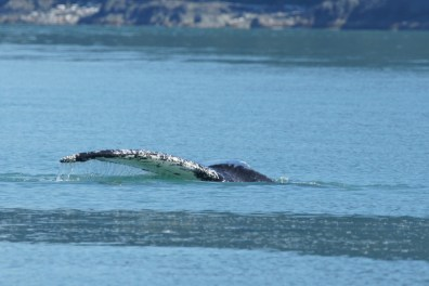 Whale Pectoral Fin on day trip to Juneau