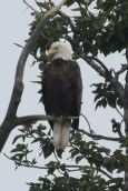 This eagle was perched in a tree on the side of the bluff overlooking Deep Creek