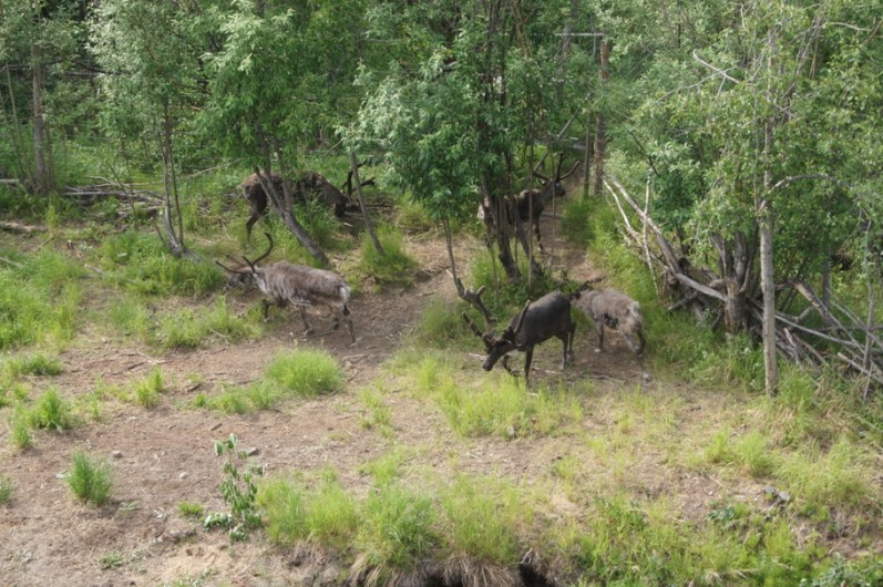 Reindeer came out to greet us as we approached the village