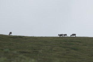 Another group of Caribou up on a ridge