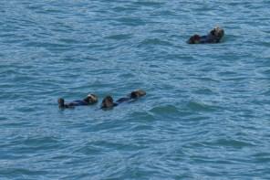 Sea otters enjoying the day