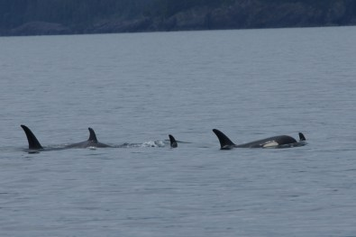 We finally saw Orcas!