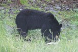 Mama bear eating a fish on the ground