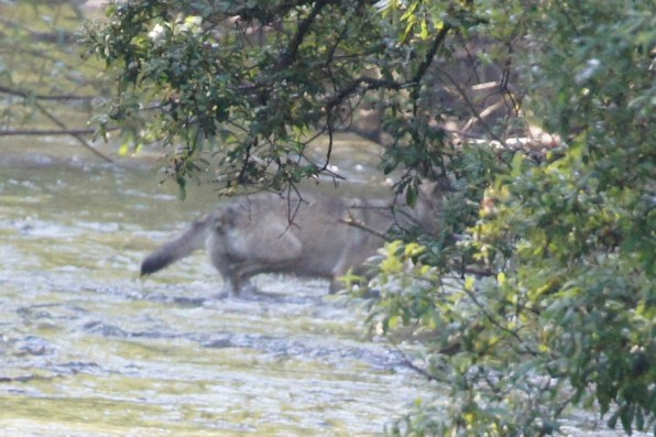 Wolf going after salmon in Fish Creek
