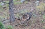 Wild Turkey in Rocky Mountain National Park