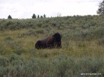 Bison in Yellowstone National Park (Wyoming)