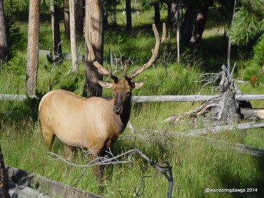 Elk in Yellowstone National Park (Woming)