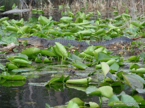 Alligator in the Okefenokee Swamp