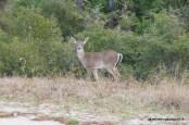 Deer at St. Joseph Peninsula State Park