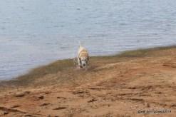 Blondie swimming behind our campsite at Petersburg COE
