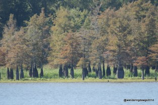 Cypress Trees on Lake Chicot