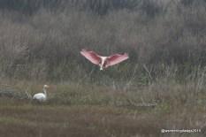 Spoonbill and Egret