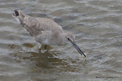 Sandpiper with a tasty crab